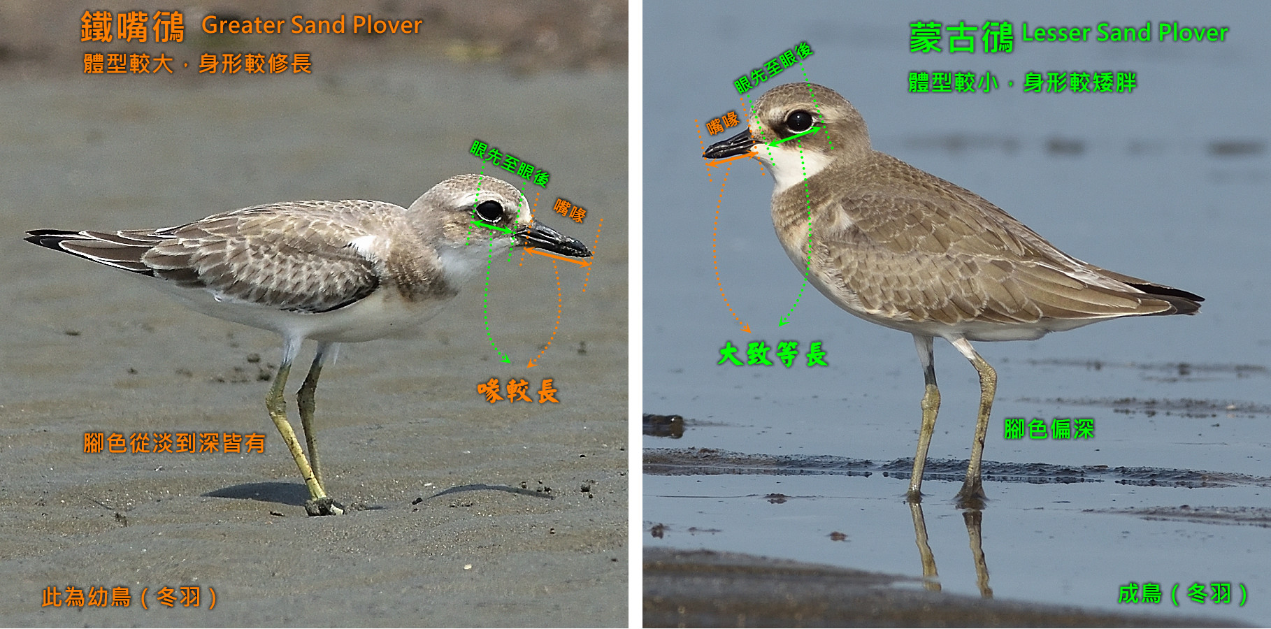 Greater-Lseer_Sand Plover