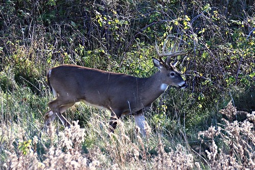 IMG_9881_White_Tail_Buck_in_Battle_Creek