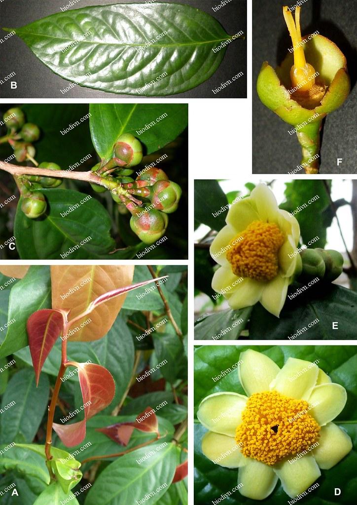 Camellia-thuongiana_8