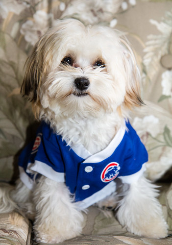 Pip in her Chicago Cubs shirt!