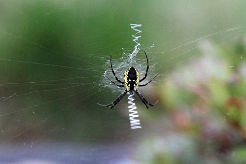 IMG_9512_Black_&_Yellow_Garden_Spider