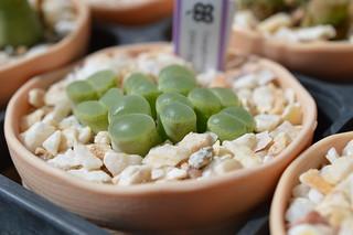 DSC_3986 Conophytum(=Ophthalmophyllum) lydiae f.harmoepense