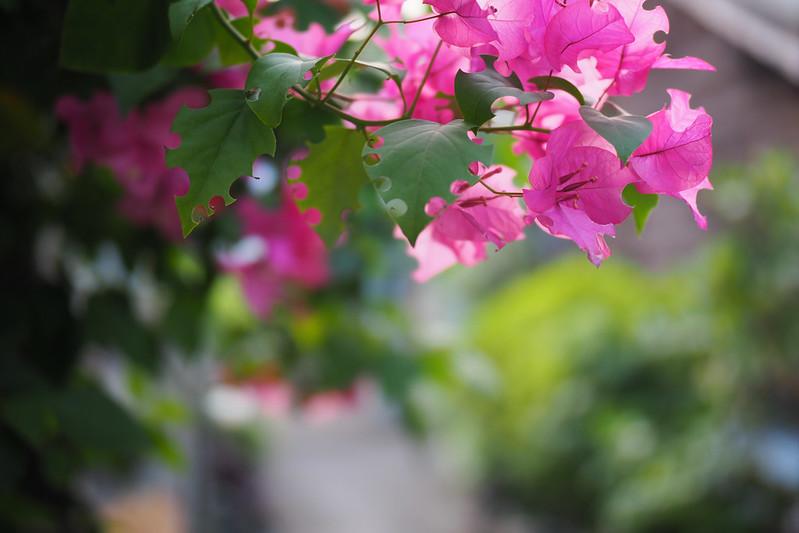 Flowers|Olympus 25mm f1.2 PRO