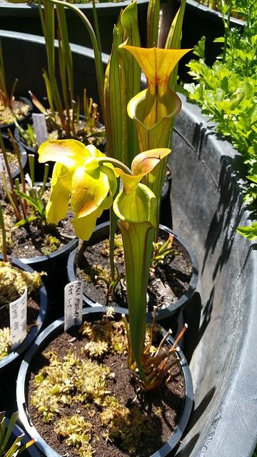 """Sarracenia flava var. cuprea/atropurpurea """"FRT 1-5"""""""