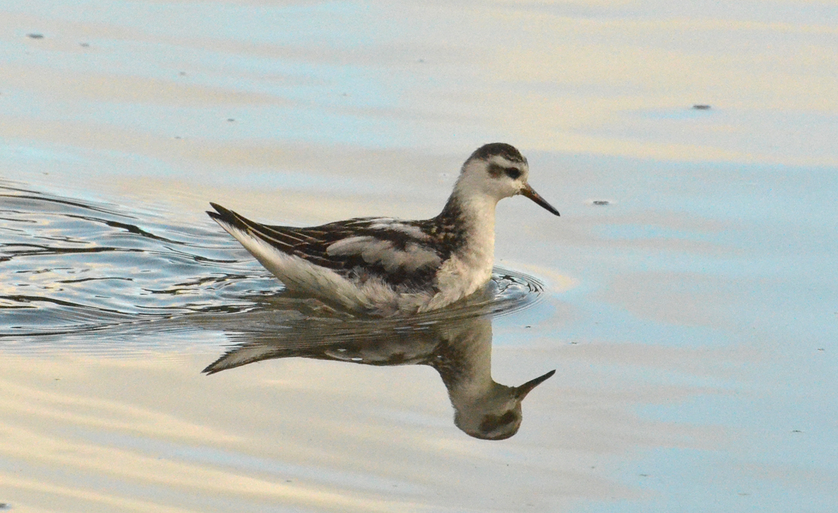 Red Phalarope - 11/21/2016