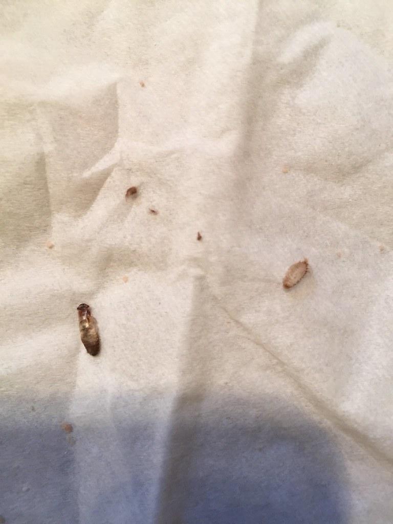 big id please a dermestid larva shed skin and most of a silverfish
