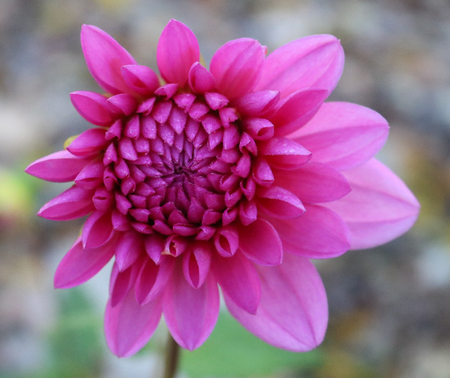a bright pink flower with more petals open on the right side