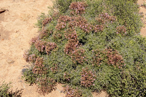 Pelargonium crithmifolium