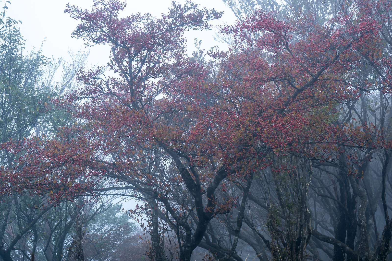 Berries in a fog