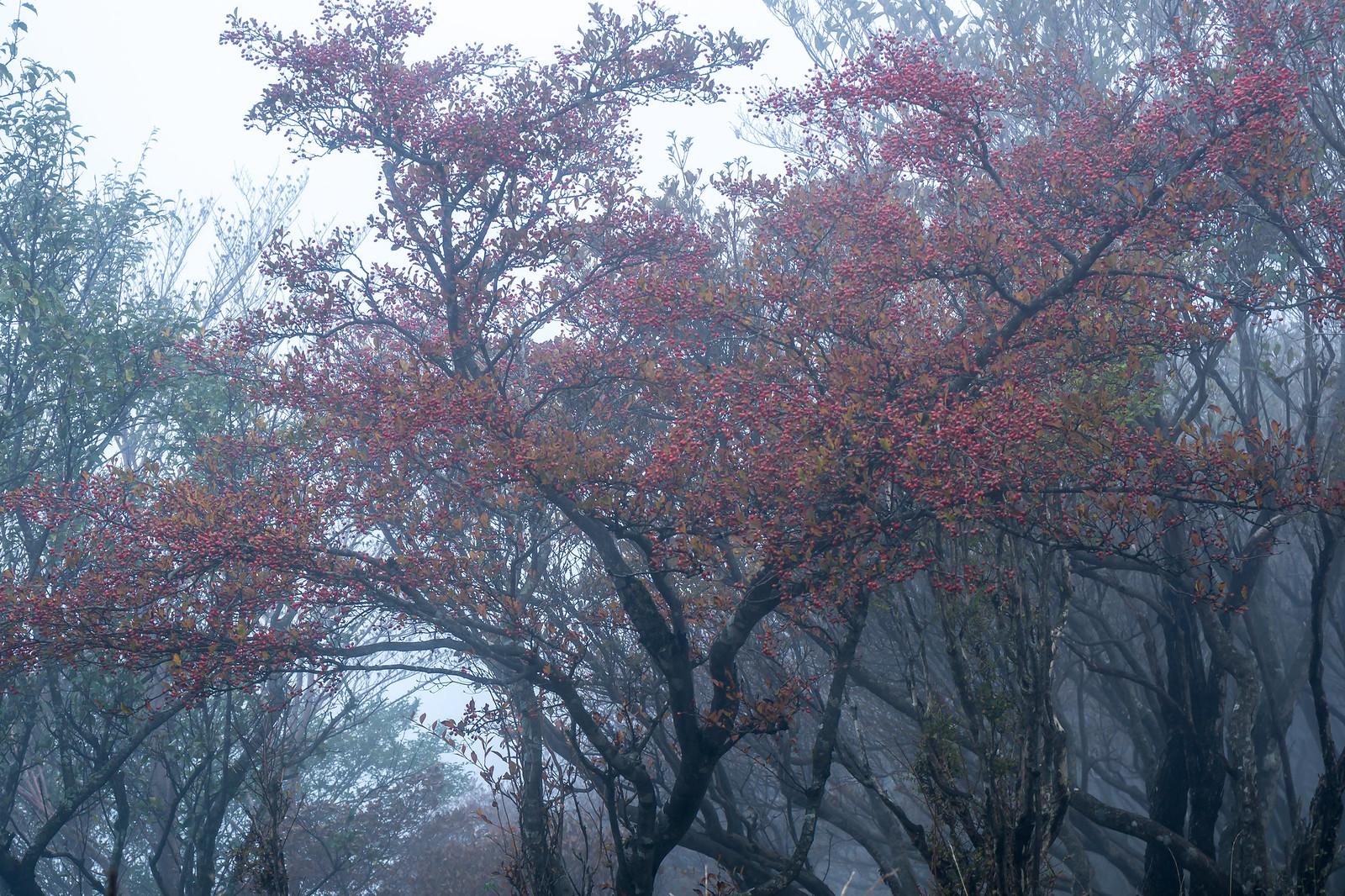 Berries in a fog
