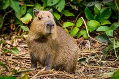 Capybara of the Pantanal, Brazil-5.jpg