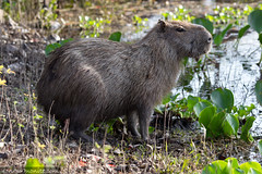 Capybara of the Pantanal, Brazil-1.jpg
