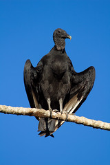 Darth Vader of the Pantanal - 'just hanging around waiting for something to die'