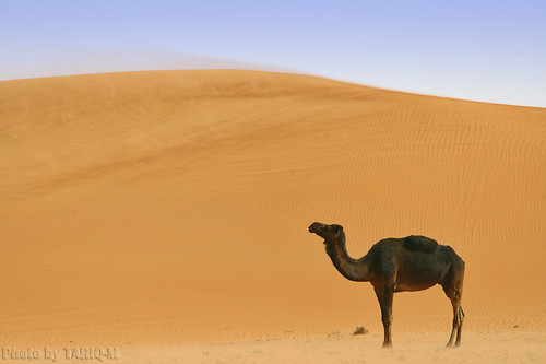 Blowing sand with lovely Camel - Explore Front Page | by TARIQ-M