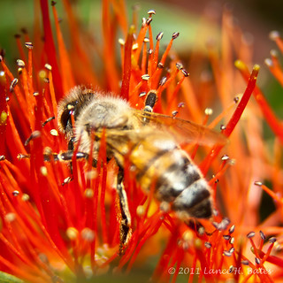 20110802 Busy bee at work-1-2 | by Degilbo on flickr