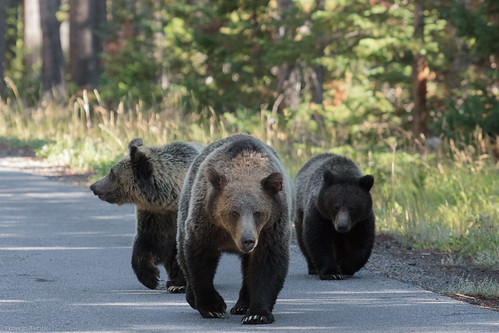 Grizzly sow with her two cubs | by Thomas Frejek