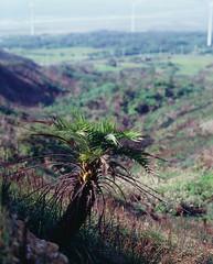Taiwan Date Palm