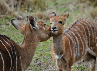 Mother and Child Nyala | by KoolPix