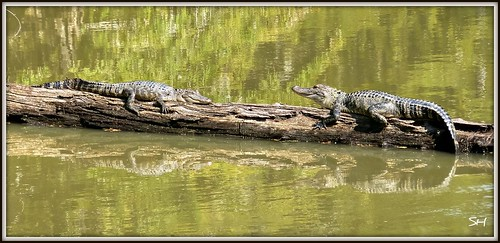 2 gators are better than 1 | by Suzanham