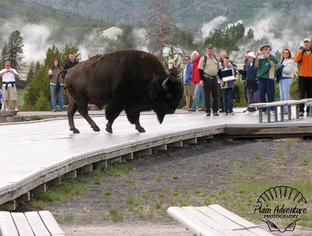 Buffalo at Old Faithful