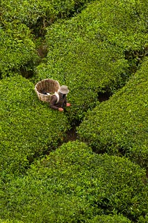 Tea plantations | by Kuba Abramowicz