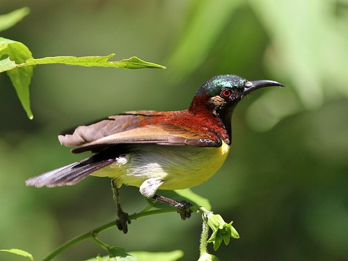Purple-Rumped Sunbird | by SivamDesign