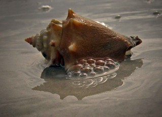 Fighting Conch Sanibel | by Sea Moon