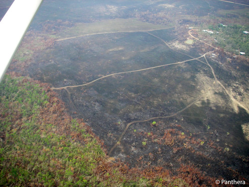Fire damage in an area where Panthera is currently working to protect jaguars, Central Belize Corridor | by Panthera Cats