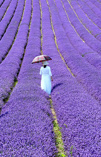 Lavender Walk | by Gay Biddlecombe