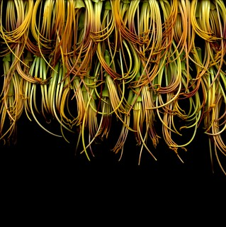 46554 Hemerocallis | by horticultural art