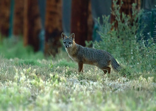 Gray Fox | by Annette Herz