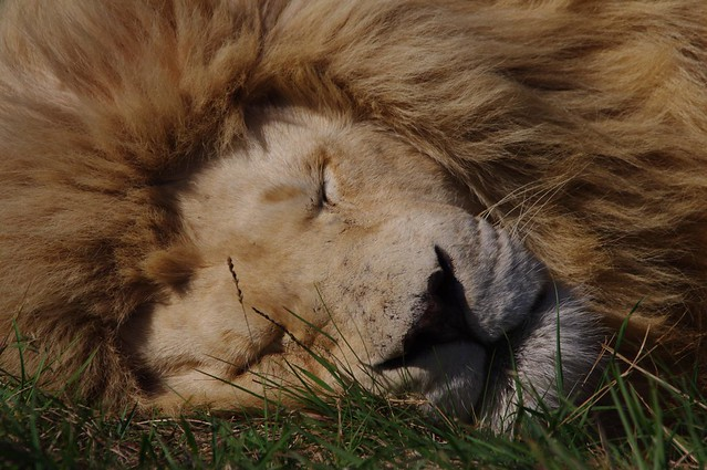 Sleeping Male Lion - Eastern Cape - South Africa