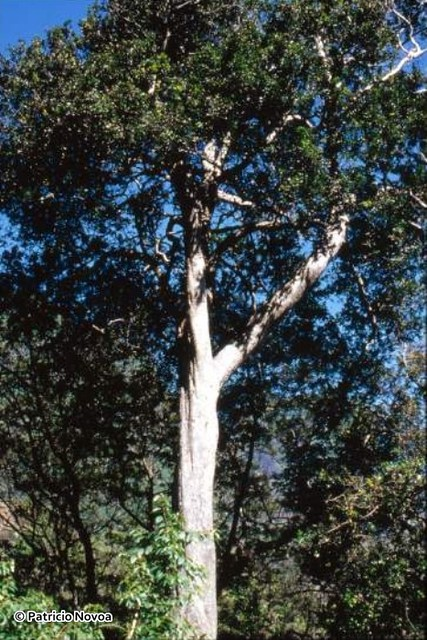 Hábito arbóreo de Myrceugenia fernandeziana