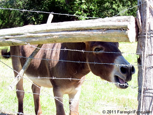 Donkey Doodle Dandy sounding the Monday morning alarm 1 | by Farmgirl Susan