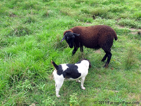 Bert and his brown lamb fan 1 | by Farmgirl Susan