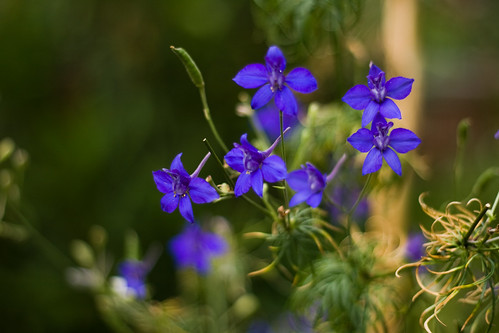 An image of larkspur © Icy Sedgwick