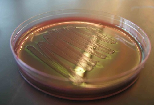 E. coli on a Petri Plate | by adonofrio (Biology101.org)