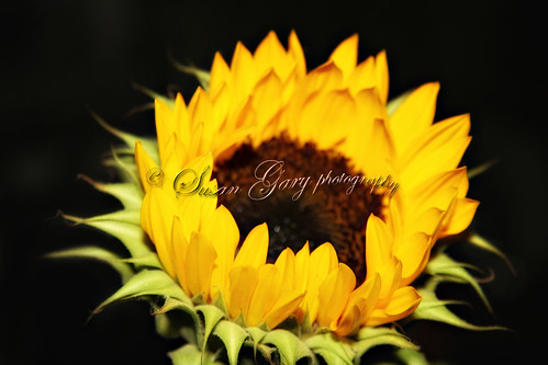 Sunflower Closeup on Black | by *GloriousNature*bySusanGaryPhotography