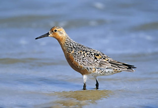 Red Knot, Photo Credit: Kevin Karlson | by EOL Learning and Education Group