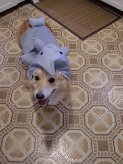 great white corgi | by p2squared
