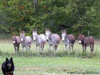Unsmiling donkeys waiting for treats 1 | by Farmgirl Susan