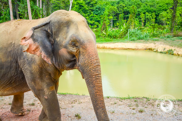 Happy Elephant in thailand