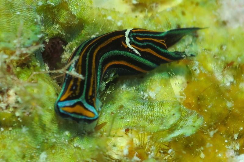 ニシキツバメガイ Chelidonura hirundinina (Quoy & Gaimard, 1832)