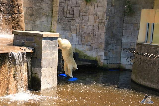 Eisbär Fiete im Zoo Rostock 04.06.2016   0123
