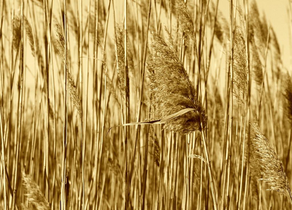 Wind Blowing Through Tall Grass