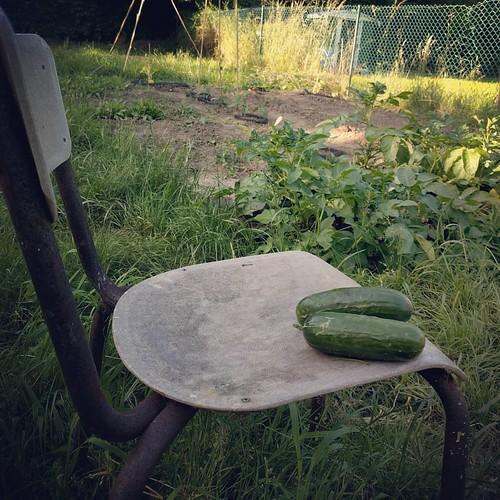 💕 voor de eerste oogst: minikomkommers! De slakken hebben het plantje helaas ook gevonden... 🐍 #samentuinen #projectindenhof #mijnmoestuin #samentuin #eetbaarherent
