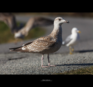 United colors of gulls | by Håkon Kjøllmoen, Norway