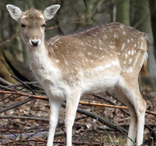 Fallow Deer | by C Nature Photography