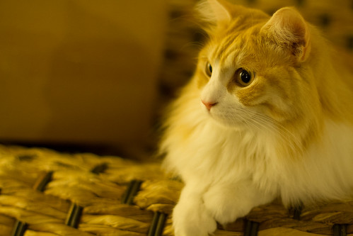 The cat of beauty