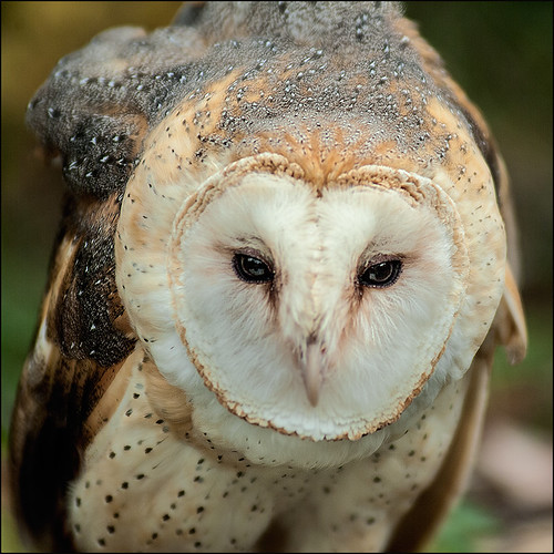 Barn Owl | by IgorLaptev
